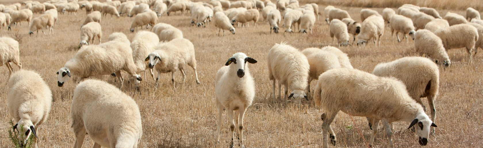 Sheep grazing in a field with one sheep standing staring directly at the camera