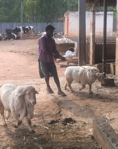 Man holding a sheep on a rope, with a sheep in the foreground and cattle in the background