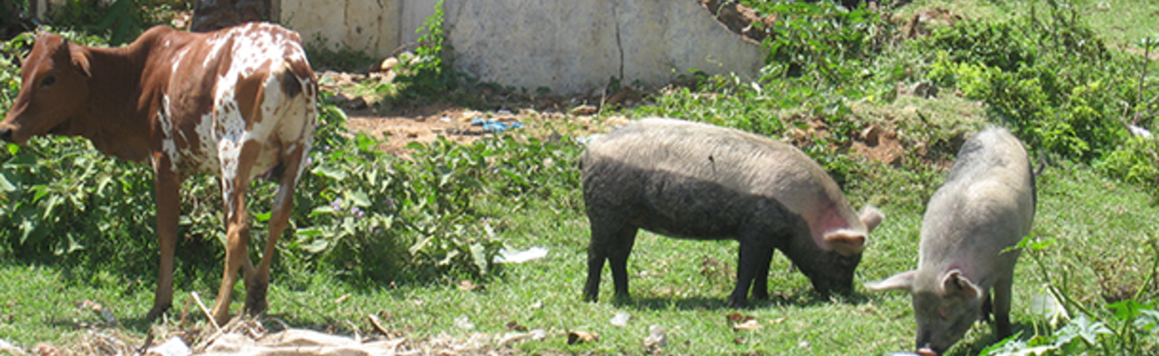 Free roaming pigs and a cow, in front of a crumbling building