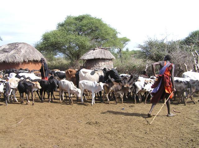 Farmer herding his livestock in an African village