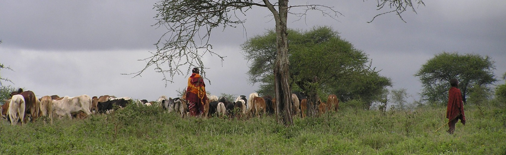 Two tribesmen in long grass, herding cattle, with trees around them