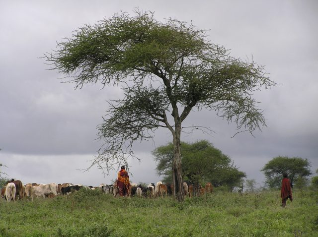 Cattle and herdsmen under and around some trees