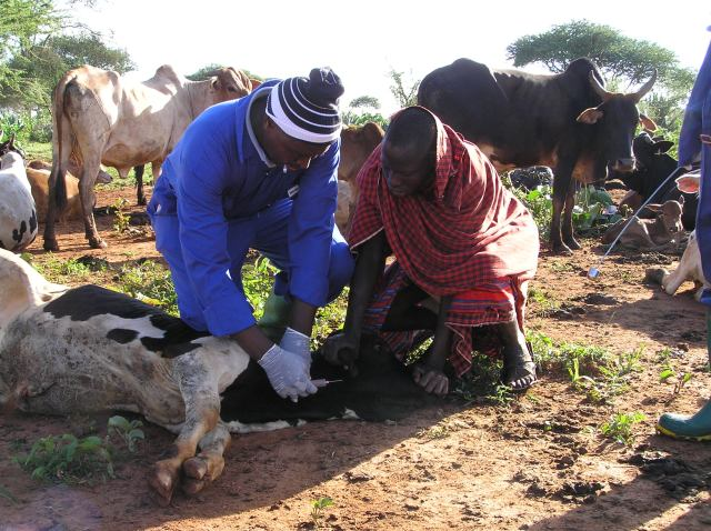Herdsmen taking samples from a cow being held down on the ground