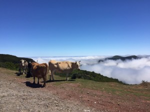 Banner image for EuFMD Open Session OS20 -Cattle on a hillside path above the clouds, overlooking trees