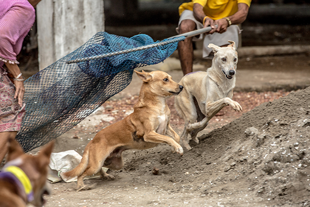 2 people using butterfly nets to catch 2 stray dogs