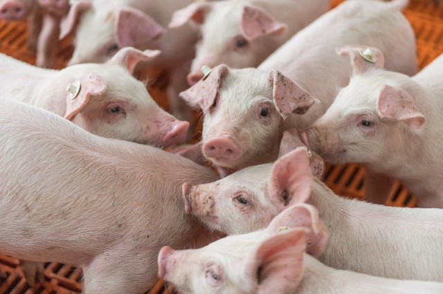 African Swine Fever (ASF)
