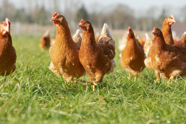Avian Influenza (AI)
