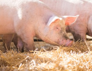 Current Efforts in African Swine Fever Vaccines: A Virtual Seminar and Discussion